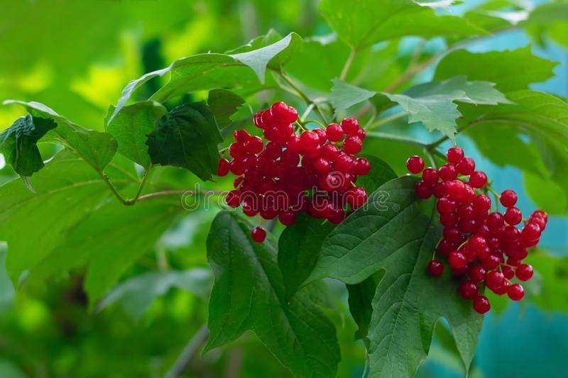 Juicy red viburnum berries also known as viburnum opulus are hanging on branch stock photography