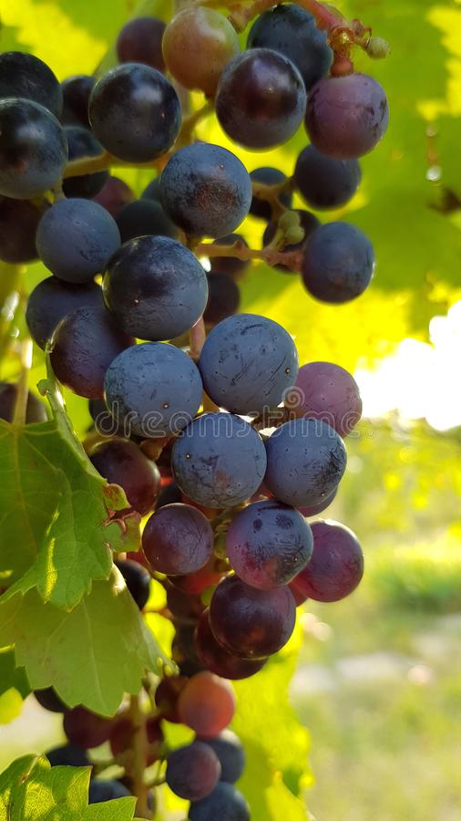 Juicy ripe bunch of blue grapes with green vine leaves royalty free stock photography
