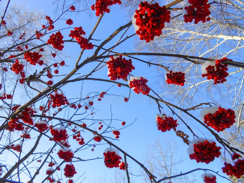 juicy ripe bunches of rowan berries hang on branches, sprinkled royalty free stock images