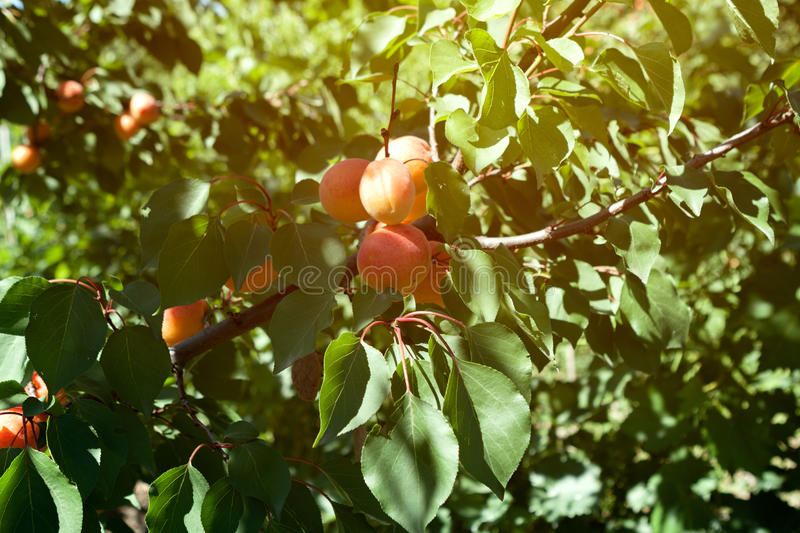 Juicy ripe organic apricots royalty free stock images