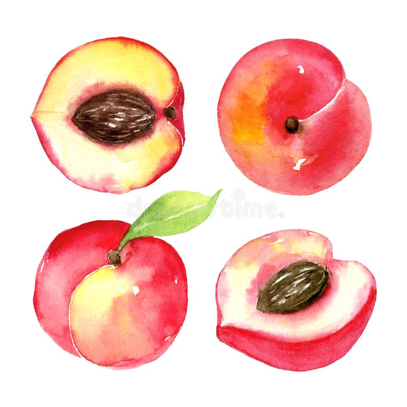 Juicy ripe peaches . Sliced fruits isolated on white background. Summer healthy food drawing.Hand-drawn watercolor stock illustration