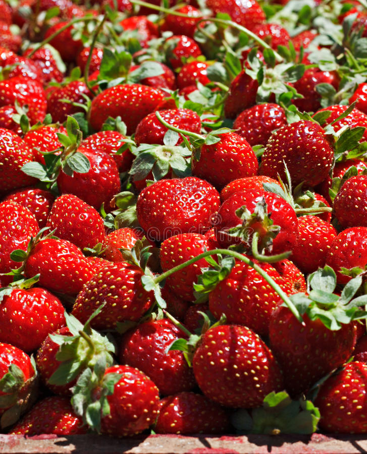 Download Juicy ripe strawberrys stock photo. Image of close, fruity - 32234566