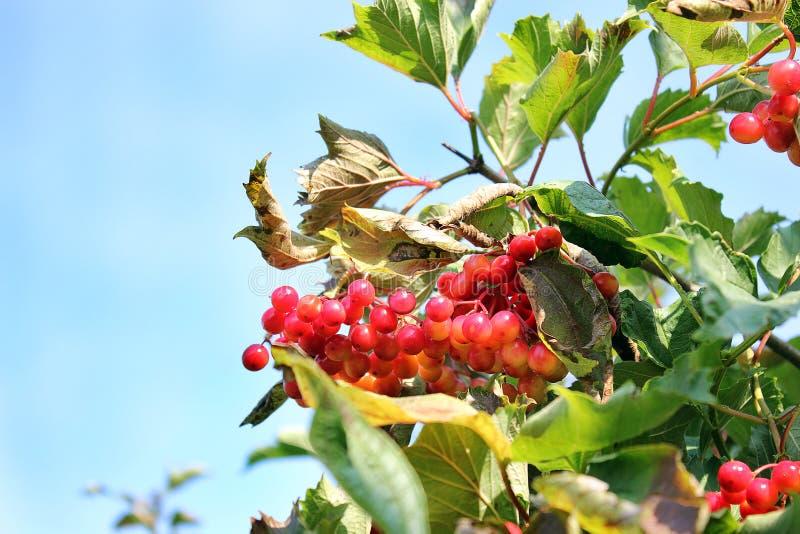 Juicy viburnum on the tree stock photo