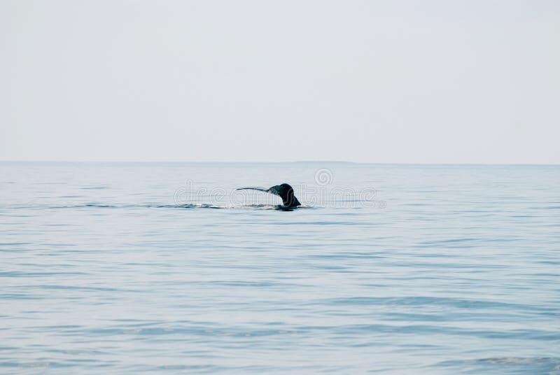 Juiste Walvis de Noord- van Atlantische Oceaan royalty-vrije stock foto