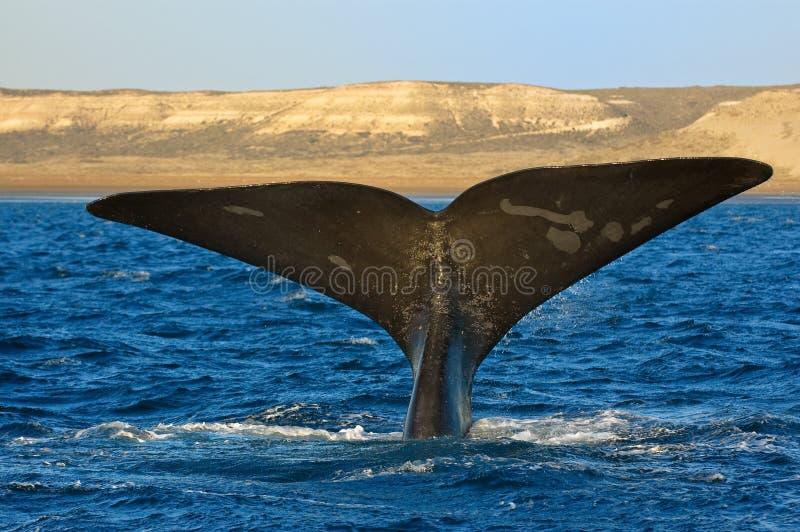 Juiste walvis in Patagonië, Argentinië. stock foto