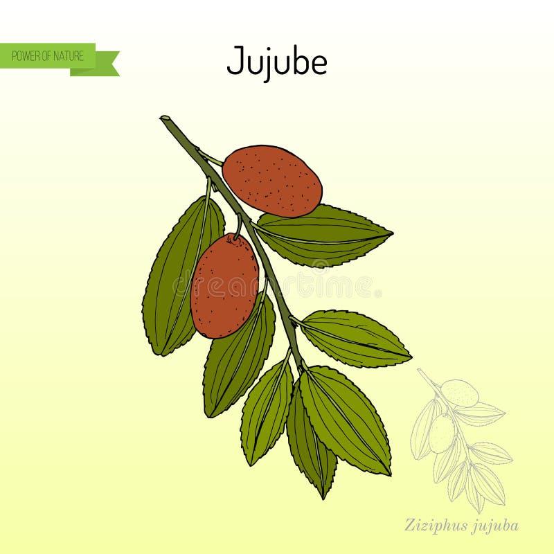 Jujuba Зизифус Jujube, или красная дата, лекарственное растение иллюстрация штока