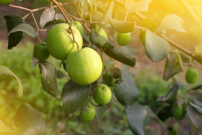 Jujube, φρέσκα πράσινα οργανικά φρούτα για υγιή στον κήπο στοκ φωτογραφίες με δικαίωμα ελεύθερης χρήσης