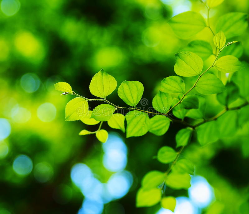 Download Jujube Leaves. Royalty Free Stock Image - Image: 26533626