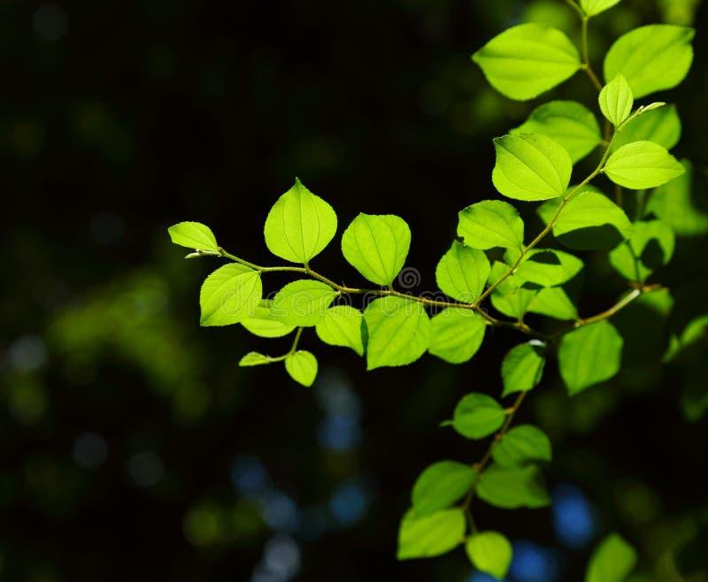 Jujube leaves.