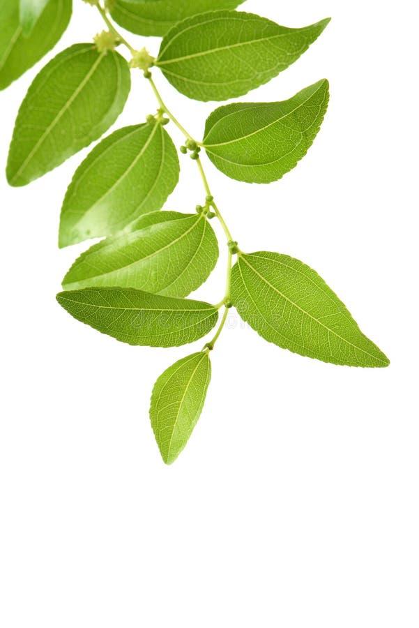 Jujuby owoc, chińczyk data Zizyphus na gałąź z liśćmi lub Ziziphus obraz stock