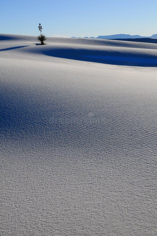 Jukka w Wydmowych Biały Piaskach fotografia royalty free