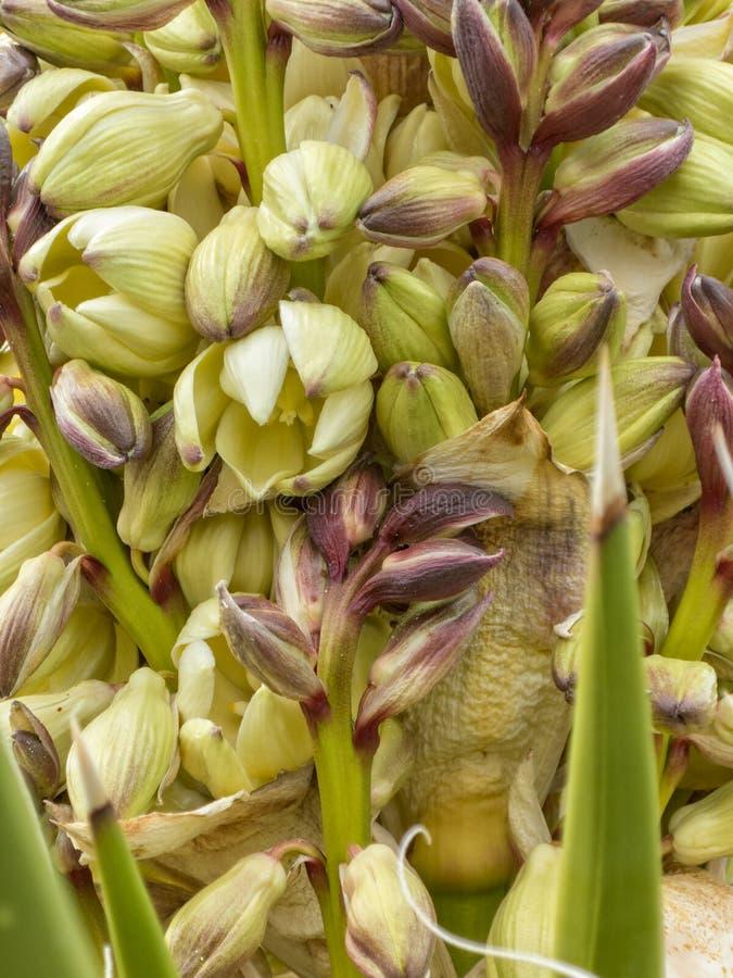 Jukki roślina kwitnie w górę zakończenia obraz royalty free
