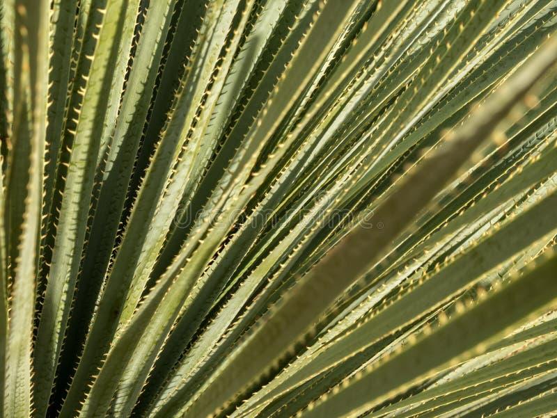 Jukki rośliny liście obrazy stock