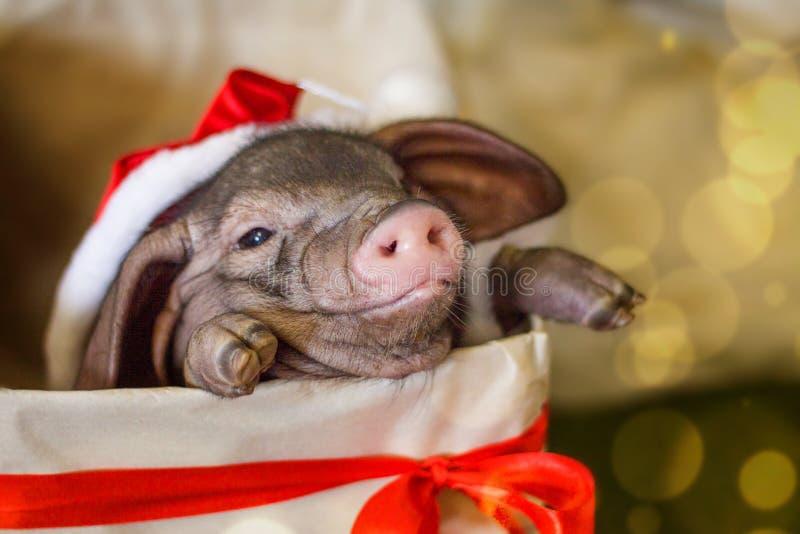 Jul och kortet för nytt år med det gulliga nyfödda santa svinet i gåvagåva boxas Garneringsymbol av årskineskalendern gran royaltyfri fotografi
