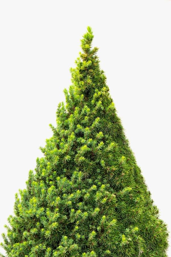 Julgran som isoleras på en vit bakgrund utan några garneringar royaltyfri bild