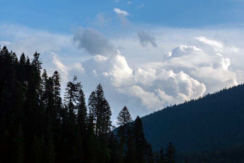 Julgranar i sommar, på lutningarna av berg, mot bakgrunden av en molnig himmel arkivfoto