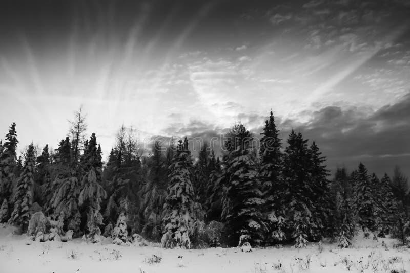 Julgranar och cloudscape royaltyfri bild