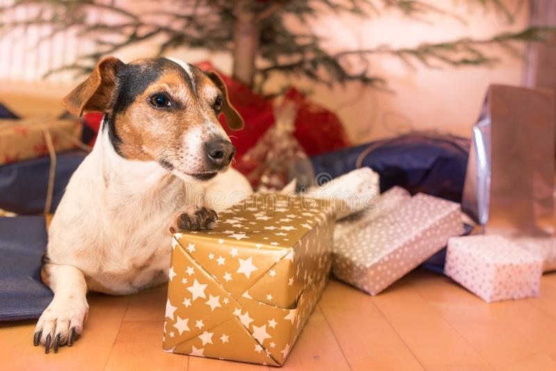 Julhund - Jack Russell Terrier arkivfoton