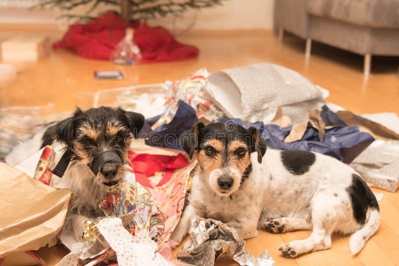 Julhundkapplöpning Två Jack Russell Terrier ligger i många gåvor royaltyfri foto