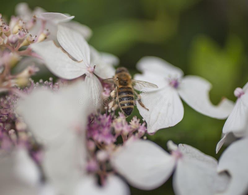 Juli in London - weiße Blumen und eine Biene lizenzfreie stockfotos
