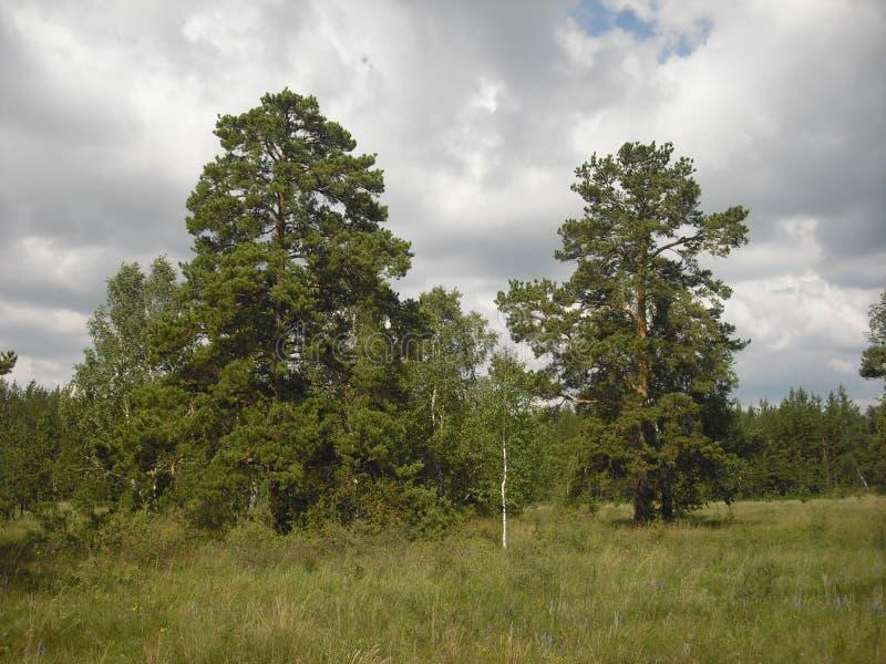 Juli-middag in het Siberische bos stock afbeelding