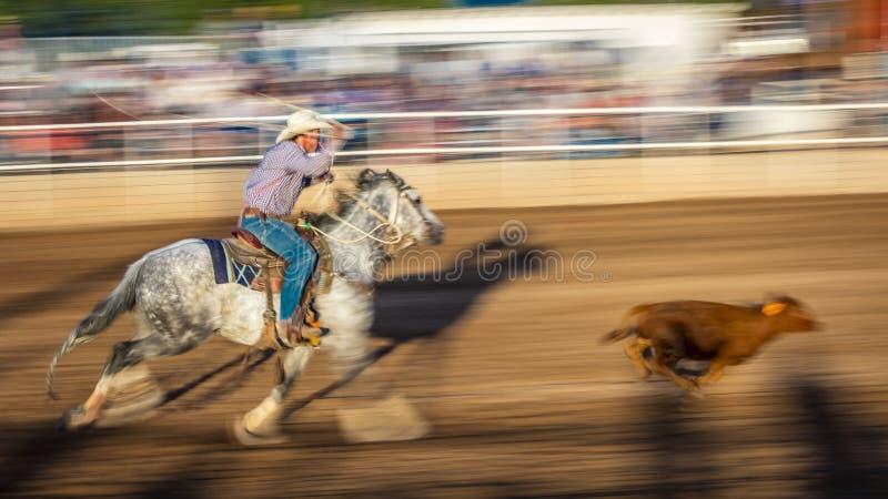 JULI 22, 2017 NORWOOD COLORADO - cowboyer rider och rope nötkreatur under San Miguel Basin Rodeo, San Tjur som är farlig fotografering för bildbyråer