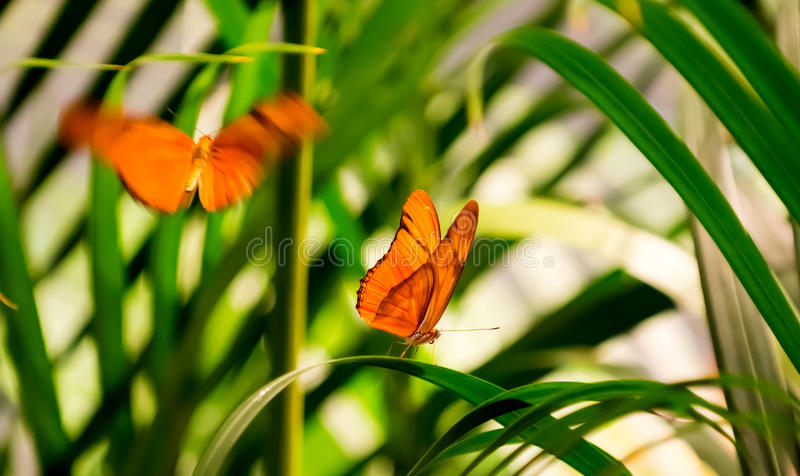 Julia Butterflies stock foto