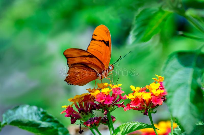 Julia butterfly in a colorful garden royalty free stock images