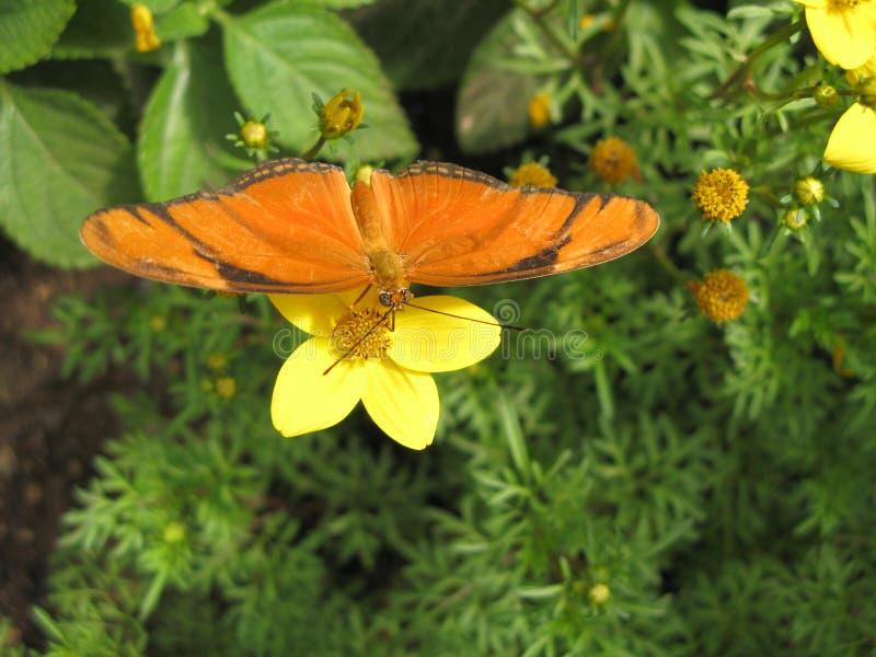 Julia Butterfly (Dryas Iulia) royalty free stock image