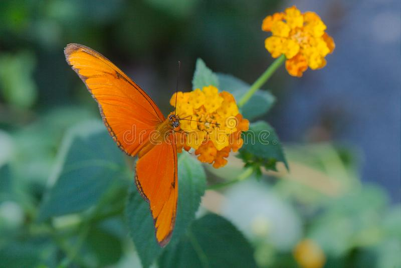 Julia butterfly Dryas iulia royalty free stock image