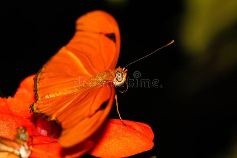 Julia butterfly macro shot stock photo