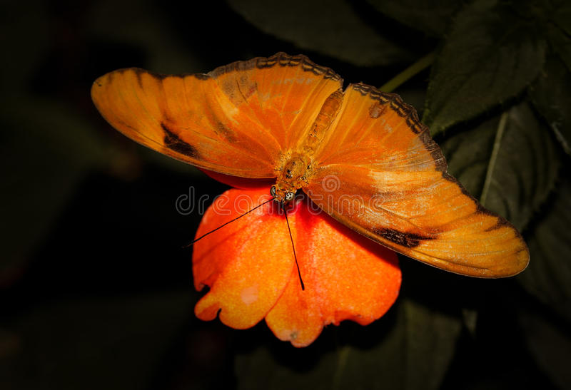 Julia butterfly macro shot royalty free stock images