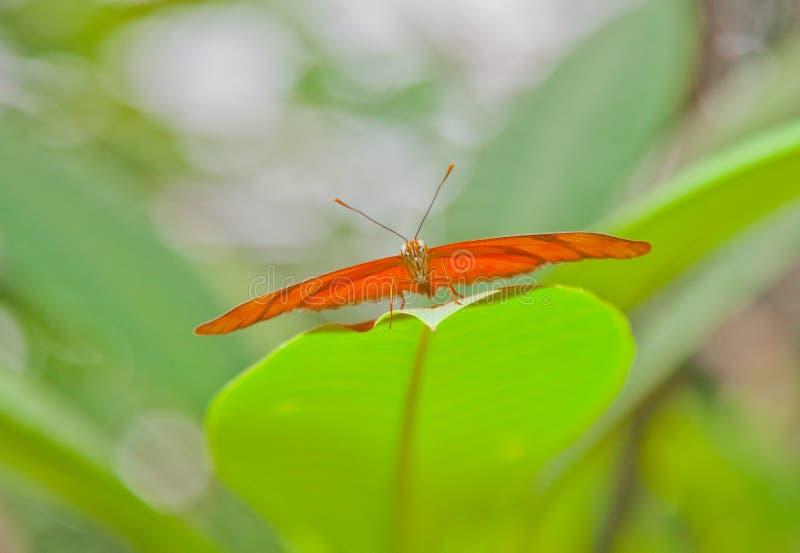 Julia Butterfly rakt framifrån royaltyfri fotografi