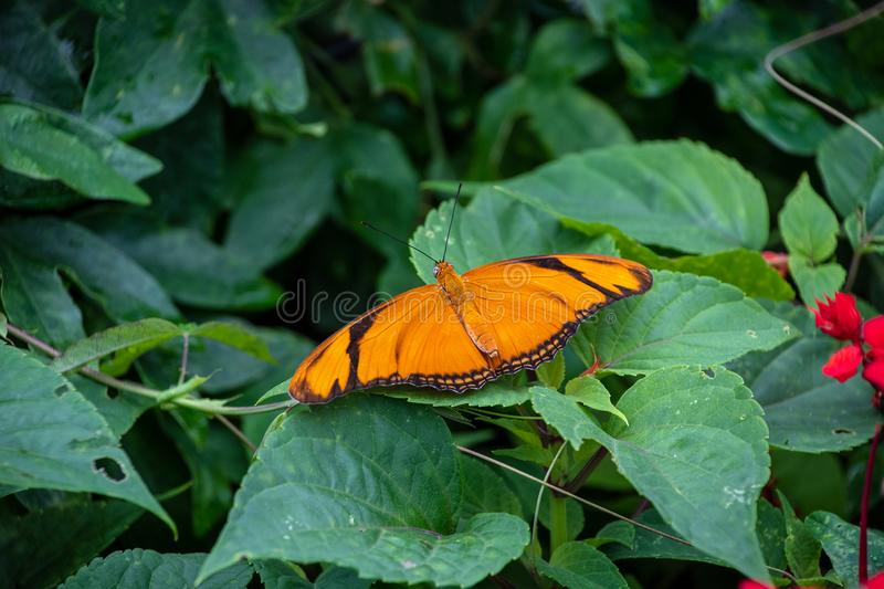 Julia butterfly on a plant stock image