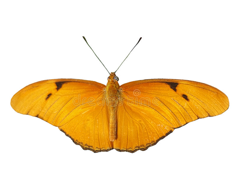 Julia Butterfly on white royalty free stock images