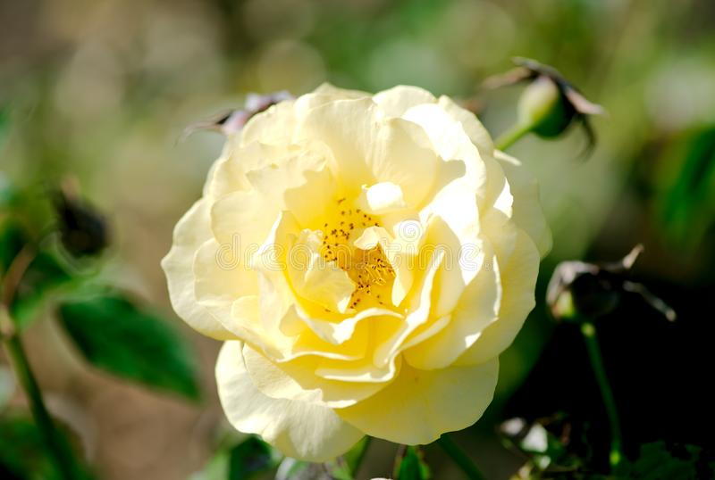 Julia Child floribunda rose blooming in full sun. At end of season stock image