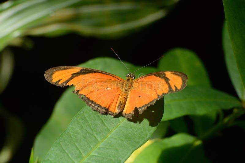 Julia or Flambeau Butterfly (Dryas Iulia) royalty free stock photo
