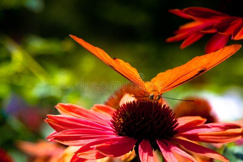 Julia Heliconian Butterfly stock fotografie