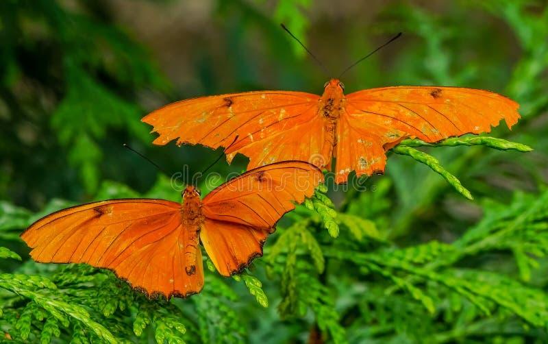 Julia Heliconian Orange Butterflies Seattle Washington arkivfoton
