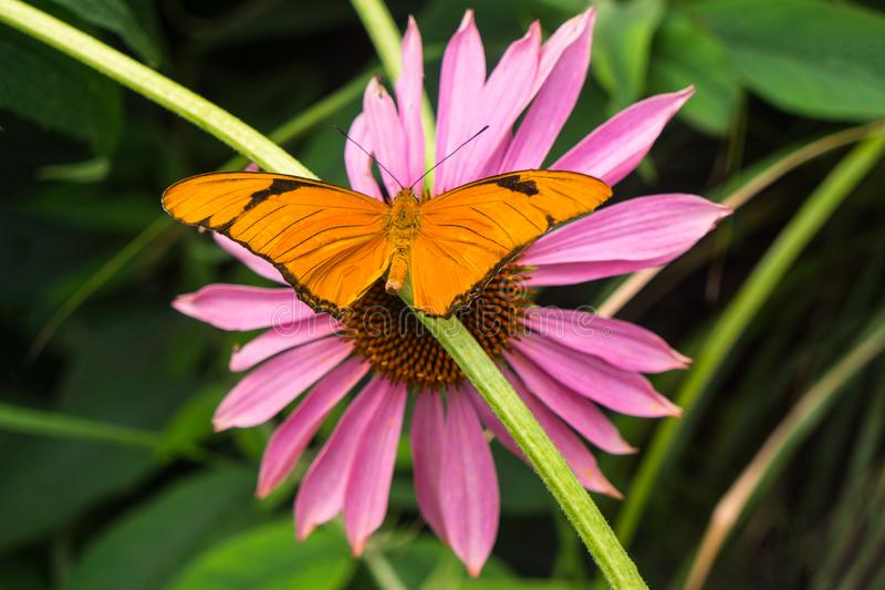 Julia Heliconian Orange Butterfly with Pink Flower royalty free stock photos
