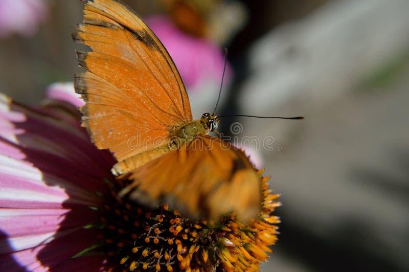 Julia Iulia Dryas Butterfly closeup stock photo