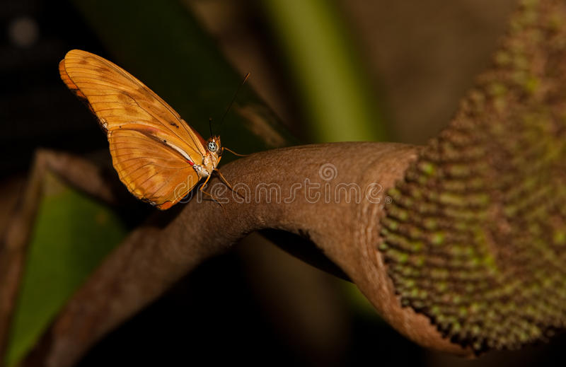 Julia Longwing Butterfly royalty free stock photos