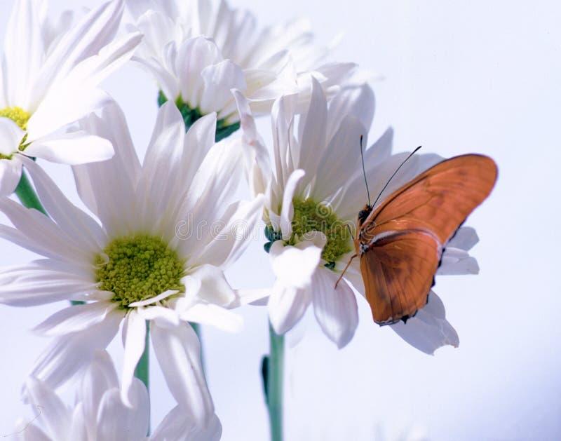 Download Julia motyla zdjęcie stock. Obraz złożonej z motyl, stokrotki - 47902