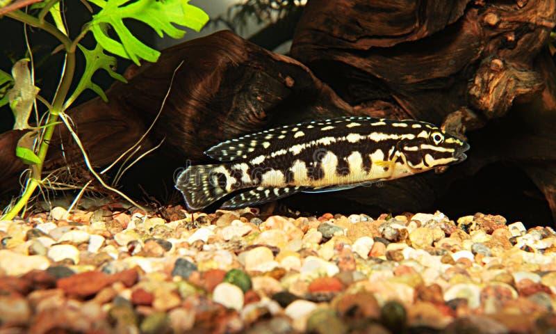 julidochromis marlieri 免版税库存图片
