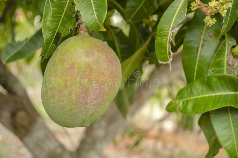 Julie Mango Fruit On Tree imagen de archivo