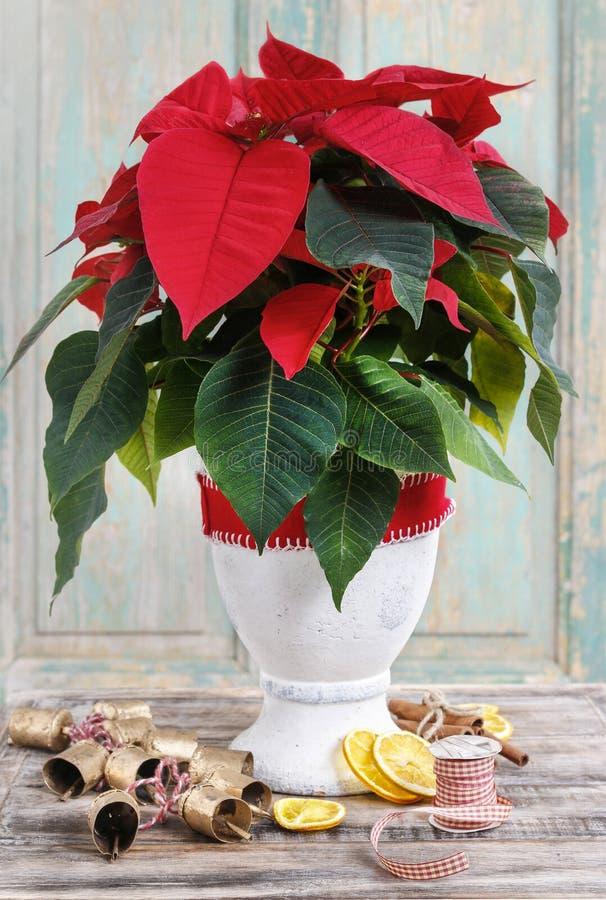 Julstjärnablomman (Euphorbiapulcherrimaen) fotografering för bildbyråer