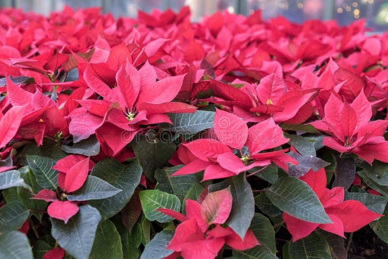 Julstjärnaväxter royaltyfria bilder