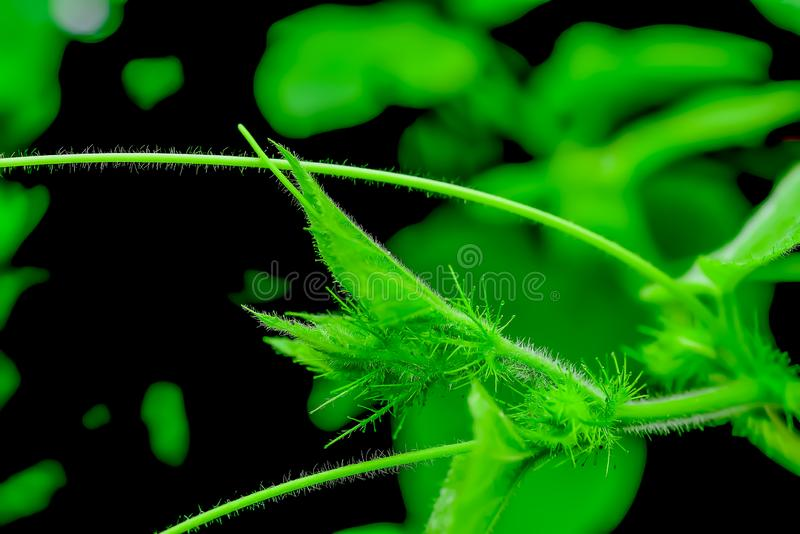 July is a biennial plant that likes the moist soil. When looking at the top of the tree, July will see the short and small feathers in general stock photography