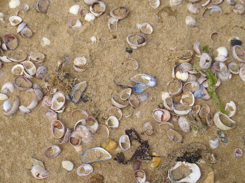 Seashells on the beach. Washed together by the tide. Lots of species. Sand as background royalty free stock image