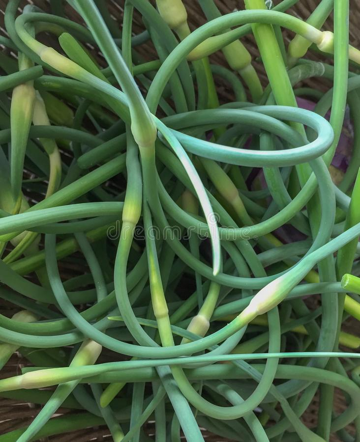 Jumbled pile of fresh garlice scapes. Fresh green garlic scapes are piled together and curves go everywhere stock photography